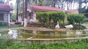 Ducks at the resort